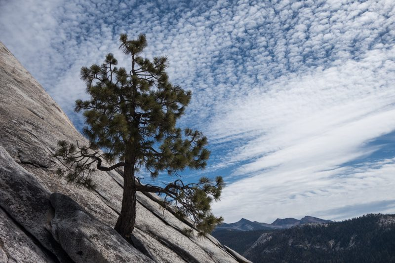 Lone pine, Half Dome, Yosemite National Park