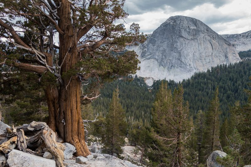 Fairview Dome and juniper, Yosemite National Park
